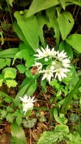 czosnek niedzwiedzi z pszczola