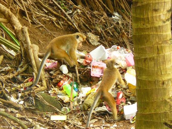 małpy w śmieciach, Sri Lanka.JPG